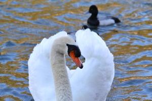 Mute Swan 04