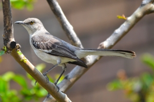 Northern Mocking Bird 01