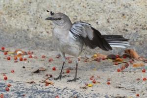 Northern Mocking Bird 04