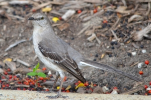 Northern Mocking Bird 05