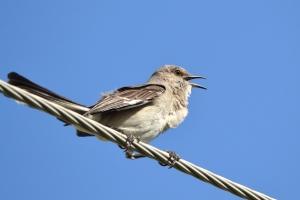 Northern Mockingbird 01
