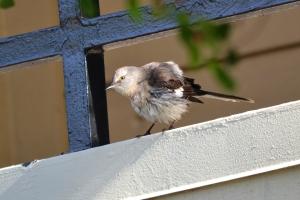Northern Mockingbird 03