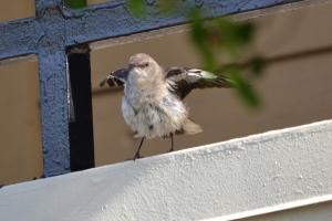 Northern Mockingbird 04