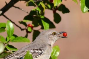 Northern Mockingbird [eating berry] 01