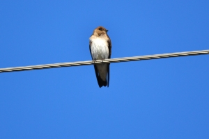 Northern Rough-winged Swallow 11
