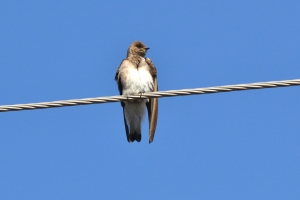 Northern Rough-winged Swallow 15