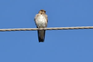 Northern Rough-winged Swallow 16