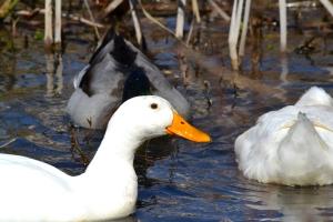 Pekin Duck 01