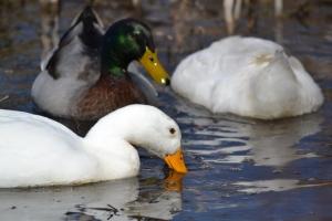 Pekin Duck 02