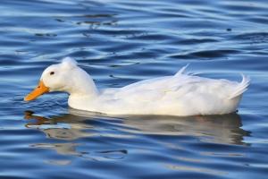 Pekin Duck 11