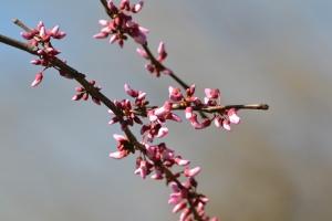 Pink Flower Buds 03