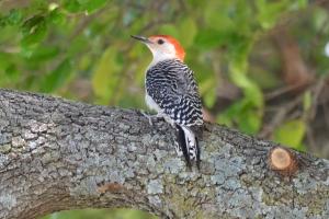 Red Bellied Woodpecker 01