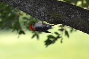 Red Bellied Woodpecker 04