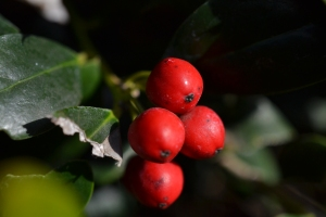 Red Berries 01