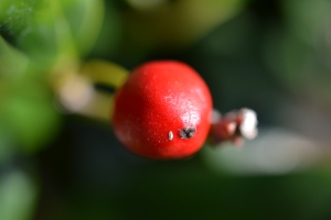 Red Berries 02