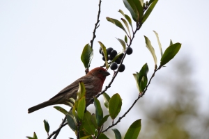 Red House Finch 03