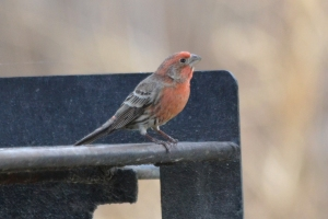 Red House Finch 07