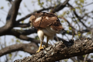 Red Tailed Hawk  03