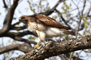 Red Tailed Hawk  04