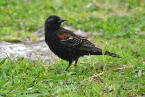 Red Winged Black Bird 01