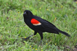 Red Winged Black Bird 04