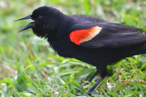 Red Winged Black Bird 07