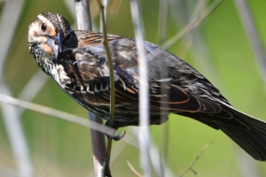 Red Winged Black Bird - Female  02