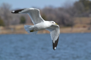 Ring Billed Gull 02
