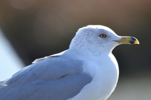 Ring Billed Gull 03