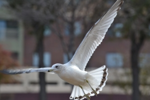 Ring Billed Gull [flying] 01