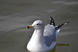 Ring Billed Gull01