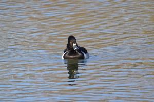 Ring Neck Duck 07