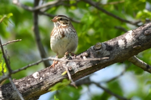 Savannah sparrow 01