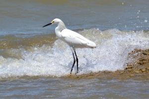 Snowy Egret 01