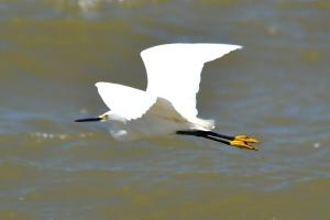 Snowy Egret 02