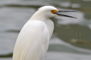 Snowy Egret 04