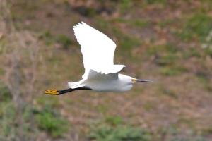 Snowy Egret 09