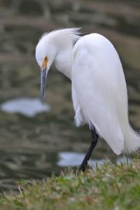 Snowy Egret 23