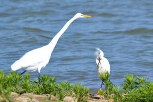 Snowy Egret 31