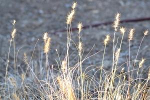 Tall Grass [at lakes edge] 01