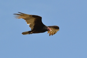 Turkey Vulture  04