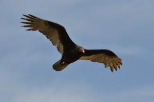 Turkey Vulture  05
