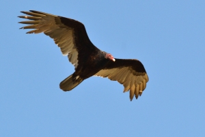 Turkey Vulture  06
