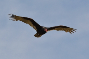 Turkey Vulture [flight] 01