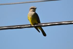 Western Kingbird 03