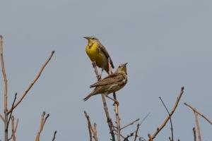 Western Meadowlark 02