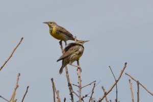 Western Meadowlark 04