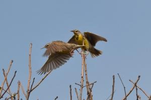 Western Meadowlark 06