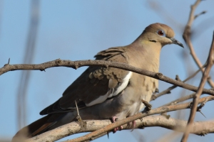 White Winged Dove 02