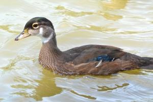 Wood Duck  15